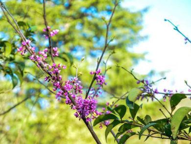 Lilac, Ijevan Dendropark