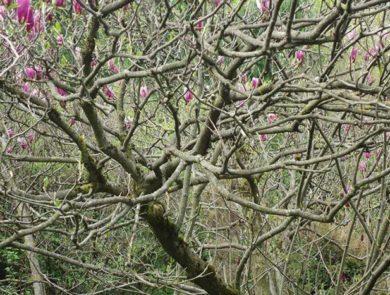 Magnolia, Ijevan Dendropark