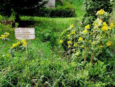 Mahonia aquifolium, Ijevan Dendropark