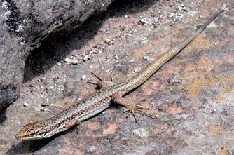 Rostombekov's Rock Lizard
