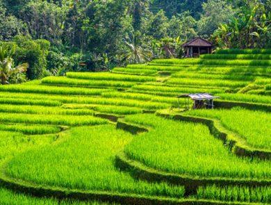 Tegallalang and Jatiluwih Rice Terraces