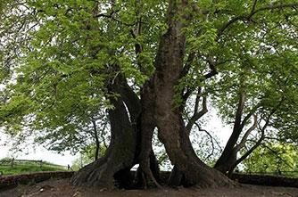 The Skhtorashen plane tree (Tnjri)