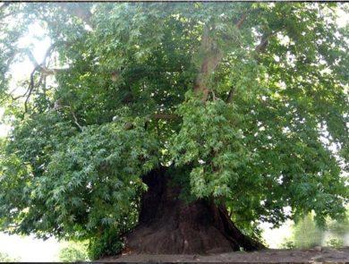 Տնջրի ծառ
