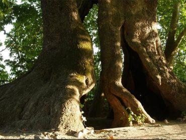Tnjri Tree
