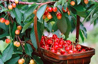 Armenian sweet cherry