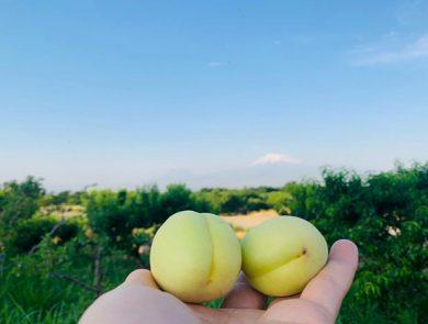 Дегустация абрикосов