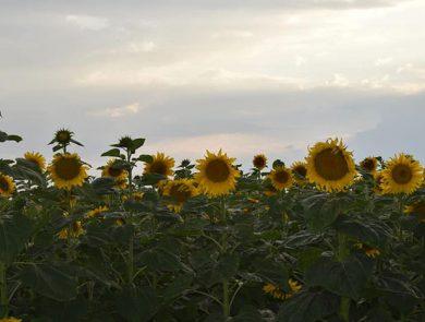 Արևածաղիկների դաշտ